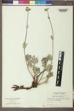 Potentilla pectinisecta image