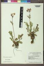 Geum triflorum var. ciliatum image