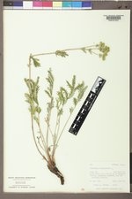 Potentilla pensylvanica image