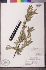 Salix boothii image