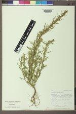 Artemisia biennis var. biennis image