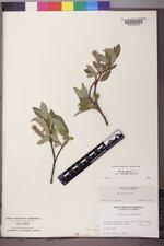 Salix glauca image