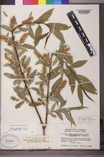 Salix lasiandra image