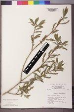 Salix lutea image