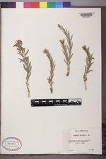 Comandra umbellata subsp. pallida image