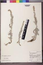 Artemisia ludoviciana subsp. candicans image