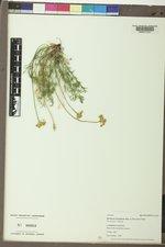 Musineon tenuifolium image