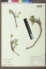 Pteryxia terebinthina var. terebinthina image