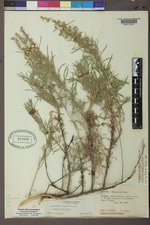 Artemisia tripartita var. tripartita image