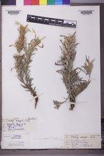 Castilleja sessiliflora image