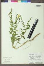 Linaria dalmatica image