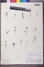 Erythranthe breviflora image