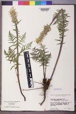 Pedicularis bracteosa var. paysoniana image