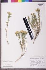 Chrysothamnus viscidiflorus subsp. lanceolatus image