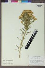 Ericameria nauseosa var. graveolens image
