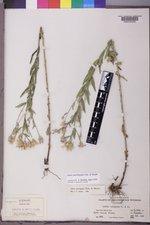 Doellingeria elegans image