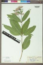 Eutrochium maculatum image