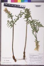 Pedicularis bracteosa image