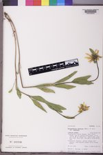 Helianthella uniflora image