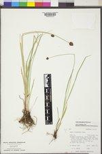 Carex neurophora image