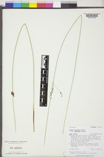 Juncus balticus subsp. balticus image