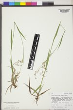 Luzula parviflora image