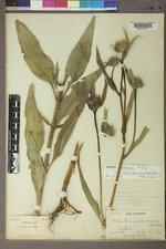 Helianthus nuttallii image