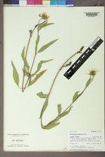 Helianthus pumilus image