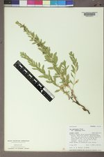 Iva axillaris image