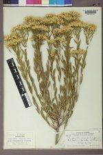 Lorandersonia linifolia image