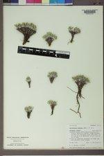 Parthenium alpinum image