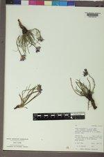 Oreostemma alpigenum image