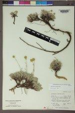 Sphaeromeria capitata image