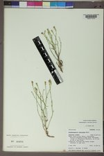 Stephanomeria runcinata image