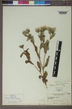 Symphyotrichum cusickii image