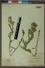 Symphyotrichum eatonii image
