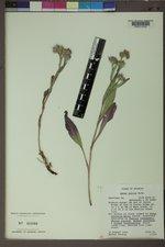 Symphyotrichum molle image