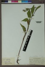 Symphyotrichum ciliolatum image