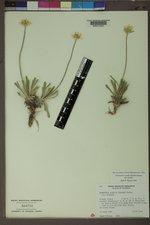 Tetraneuris acaulis var. acaulis image