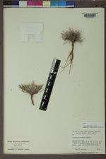Townsendia hookeri image