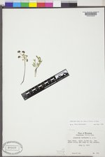 Lomatium cous image