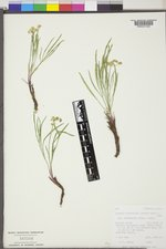 Lomatium triternatum var. platycarpum image