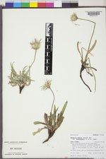 Agoseris glauca var. dasycephala image