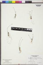 Antennaria flagellaris image