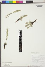 Artemisia borealis image