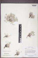 Astragalus gilviflorus image