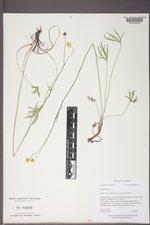 Ranunculus acriformis image