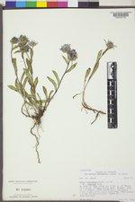 Symphyotrichum foliaceum var. apricum image