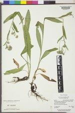 Symphyotrichum foliaceum var. parryi image