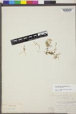 Callitriche stenoptera image
